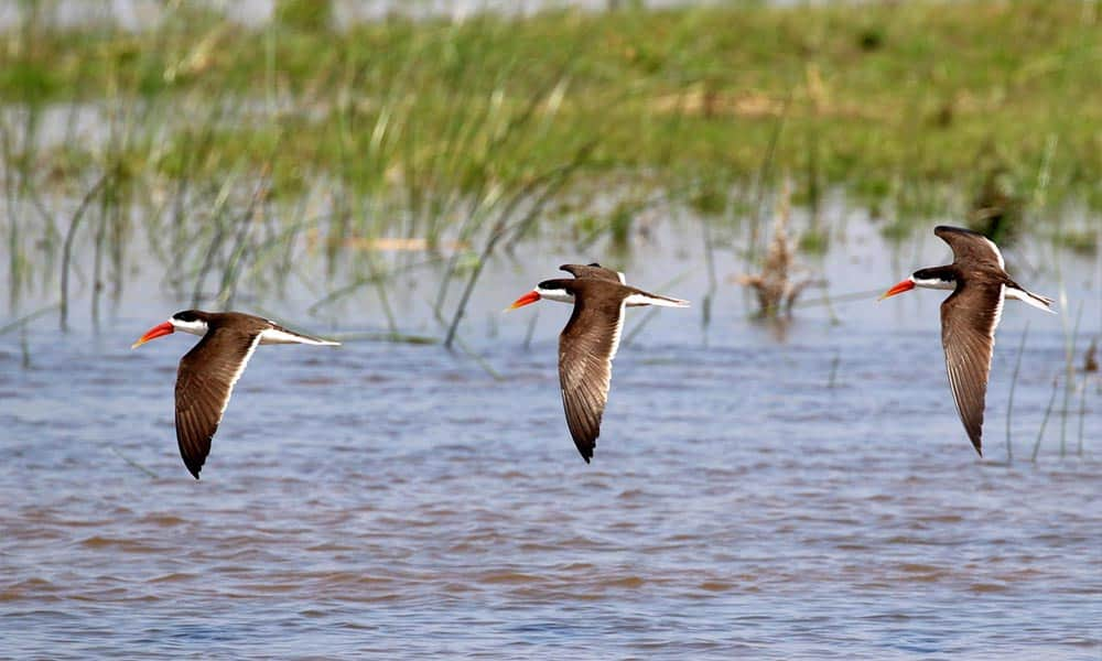 African Skimmers Bird Watching Cruise Zambezi River