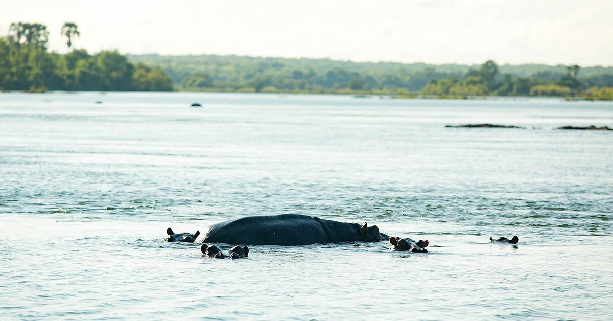 Hippos Zambezi River Raikane