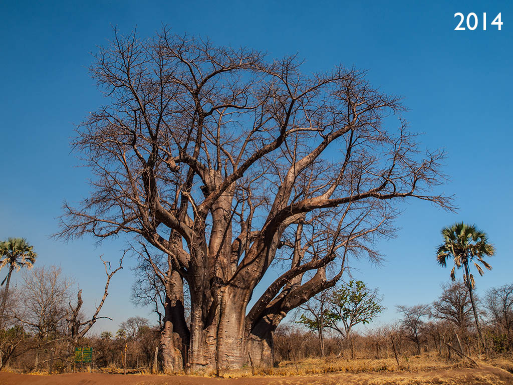 Big Tree Zimbabwe Victoria Falls