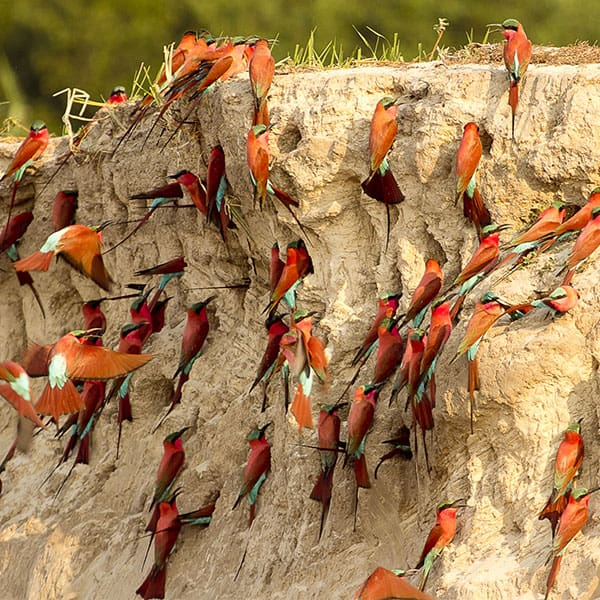 Carmine Bee Eaters Victoria Falls Zimbabwe