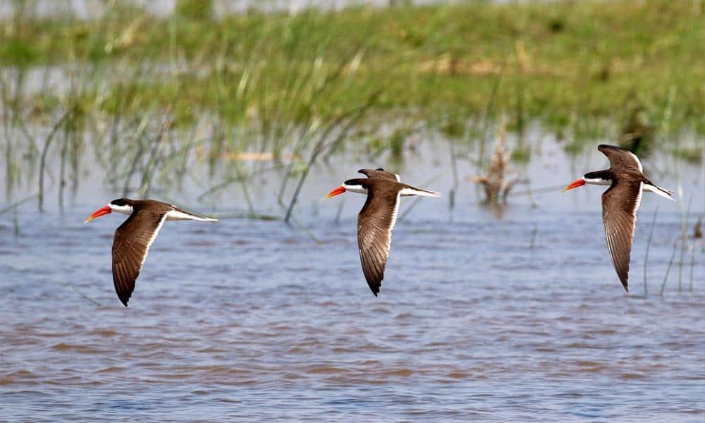 African Skimmers Bird Watching Cruise Zambezi River