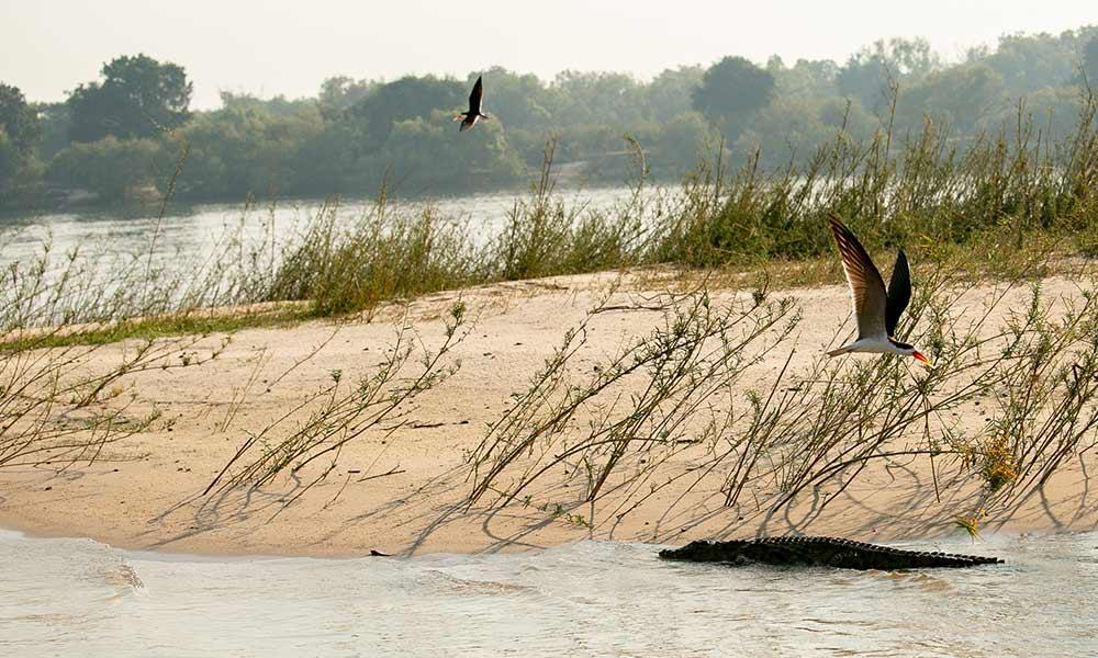 African Skimmers Zambezi River