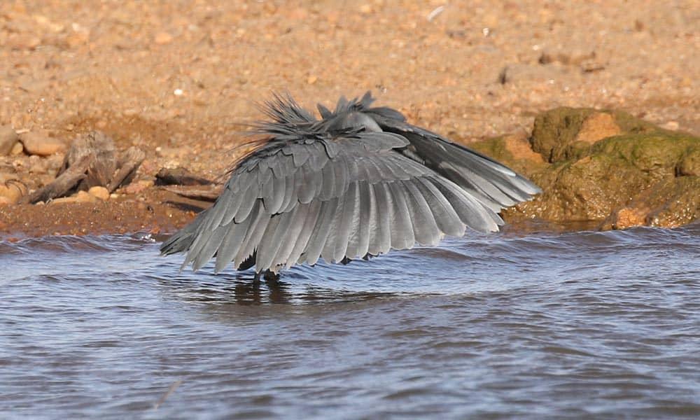 Black Heron Bird Watching Cruise