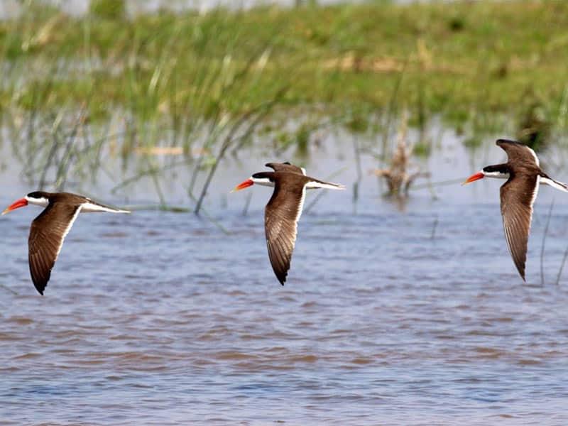 African Skimmers Birds Of the Zambezi