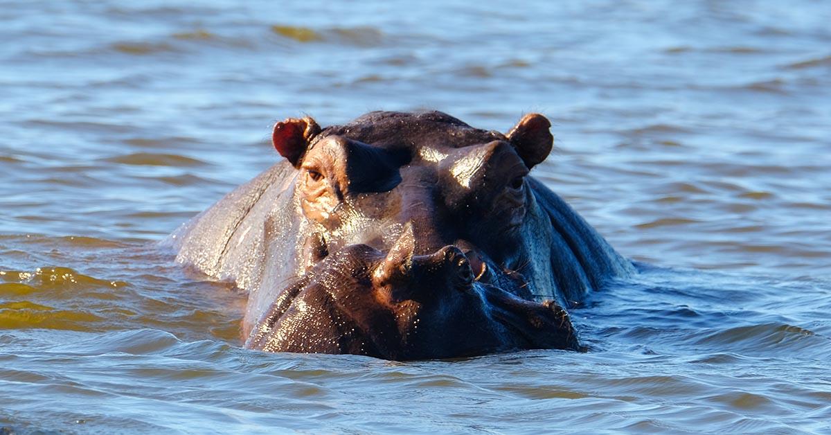 Hippos Zambezi River Raikane Up Close