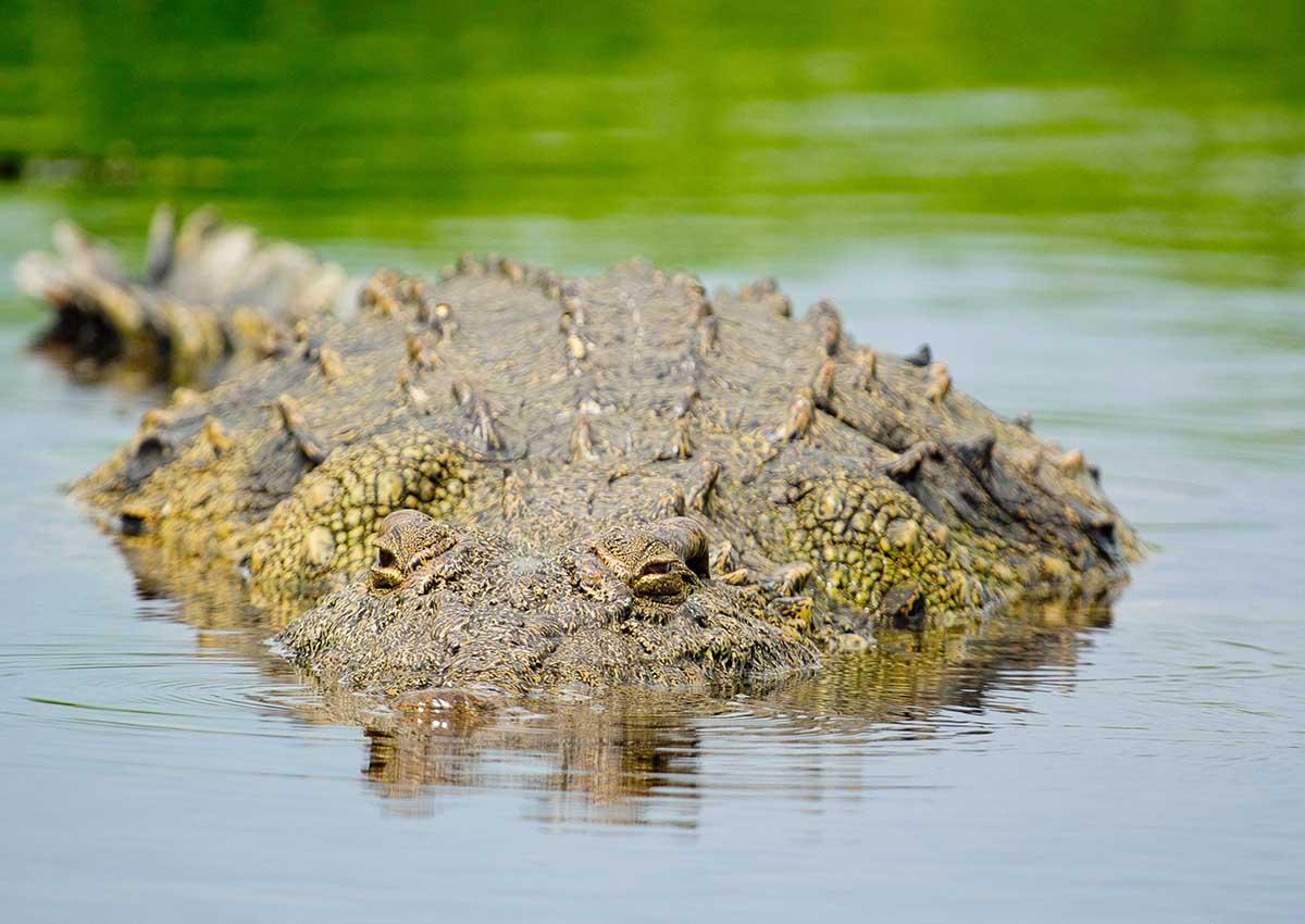 Raikane Crocodile